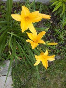 Tulipe des bois
